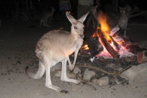 kangaroofire